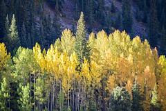 Colorado Fall Colors (Bob Nastasi) Tags: colorado fall fallcolors aspengrove yellow z7 bobnastasi