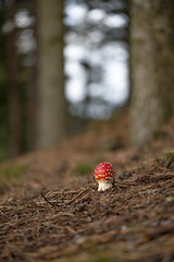 Where is everyone? (tonguedevil) Tags: outdoor outside countryside autumn nature woodland forest trees mushroom fungi flyagaric red colour light shadows