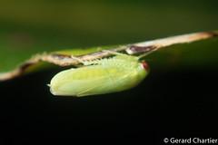 Leafhopper (Cicadellidae) (GeeC) Tags: membracoidea tatai animalia nature arthropoda kohkongprovince insecta hemiptera cambodia cicadellidae leafhoppers