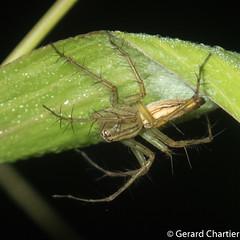 Lynx Spider (Oxyopidae) (GeeC) Tags: arachnida animalia oxyopidae araneomorphae nature arthropoda araneae cambodia kohkongprovince tatai lynxspiders spiders truespiders