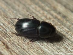 Aphodiinae (GeeC) Tags: tatai scarabaeidae nature cambodia arthropoda coleoptera kohkongprovince insecta animalia aphodiinae scarabaeoidea beetles scarabbeetles