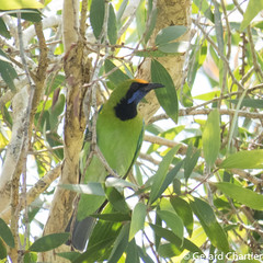 Chloropsis aurifrons (Golden-fronted Leafbird) (GeeC) Tags: chloropsisaurifrons tatai animalia aves nature chordata kohkongprovince cambodia chloropseidae passeriformes chloropsis birds goldenfrontedleafbird passerines