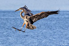 Stick The Landing (PNWheat) Tags: waterfowel illinois lakespringfield landing bif greatblueheron