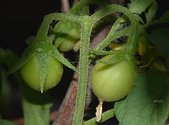 Green Tomatoes (Sheuli Hossain) Tags: nature bangladesh roofgarden greentomato