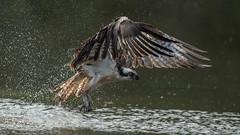 Osprey  0427 (Paul McGoveran) Tags: bif bird birdinflight hendrievalley nature nikon500mmf4 nikond500 nikond850 osprey wings coth5