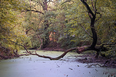 dead tree (Tofubratwurst) Tags: natur nature leipzig gewässer baum deadtree dead tree tot entengrütze herbst autumn sonyalpha7rm2 sonyselfe85mmf18 tofubratwurst
