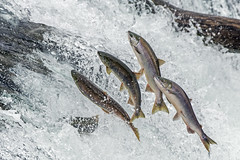 Uphill Battle (Tom Fenske Photography) Tags: katmai fish fishing salmon salmonrun bear nature swimming river jumping wildlife falls rapids waterfalls wilderness upstream sockeye