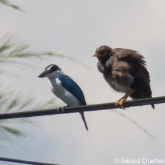 Todiramphus chloris (Collared Kingfisher) and Acridotheres tristis (Common Myna)