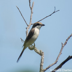 Lanius cristatus (Brown Shrike)