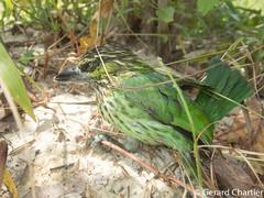 Psilopogon faiostrictus (Green-eared Barbet) (GeeC) Tags: tatai animalia aves nature chordata ramphastidae kohkongprovince cambodia psilopogonfaiostrictus piciformes psilopogon barbets birds greenearedbarbet