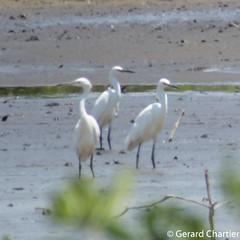 Egretta garzetta (Little Egret) (GeeC) Tags: egrettagarzetta animalia aves egretta nature chordata pelecaniformes kohkongprovince bangkayak cambodia ardeidae birds egrets herons littleegret