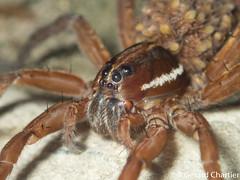 Wolf Spider (Lycosidae) with babies (GeeC) Tags: arachnida animalia araneomorphae nature arthropoda araneae cambodia lycosidae kohkongprovince tatai spiders truespiders wolfspiders