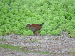 Zapornia tabuensis plumbea 3 (mncbirds) Tags: pitt town lagoon windsor the hawkesbury nsw australia barry m ralley barrymralley zapornia tabuensis plumbea spotless crake