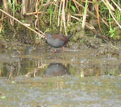 Zapornia tabuensis plumbea 2 (mncbirds) Tags: pitt town lagoon windsor the hawkesbury nsw australia barry m ralley barrymralley zapornia tabuensis plumbea spotless crake