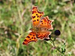 C-Falter (Hugo von Schreck) Tags: hugovonschreck comma cfalter butterfly schmetterling falter insect insekt yourbestoftoday canoneosm50 efm1545mmf3563isstm