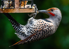 Nothing too difficult (wesleybarr1962) Tags: flicker northernflicker redshaftedflicker colaptesauratus naturebynikon