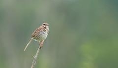 Bruant chanteur // Song Sparrow (Alexandre Légaré) Tags: bruant chanteur song sparrow melospiza melodia oiseau bird avian animal wildlife nature nikon d7500 sherbrooke quebec canada