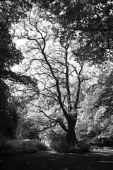 Hampstead Heath (fabiolug) Tags: hampsteadheath hampstead heath park trees tree leaves trunk branches branch nature people light shadow shadows london leicammonochrom mmonochrom monochrom leicamonochrom leica leicam rangefinder blackandwhite blackwhite bw monochrome biancoenero voigtlandernoktonclassic35mmf14 voigtlandernokton35mmf14 voigtlander35mmf14 35mm voigtlander fractal landscape