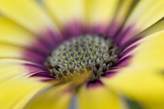 P3II9238 (Ian Luc) Tags: pentaxk3 100mmmacro outside nature macro closeup flowers colour color spring growing