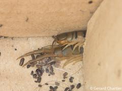 Scolopendra sp. (GeeC) Tags: scolopendra chilopoda animalia nature arthropoda cambodia kohkongprovince myriapoda tatai scolopendromorpha scolopendridae centipedes tropicalcentipedes