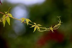 wild wine (Patricia Buddelflink) Tags: autumn wild wine garden nature