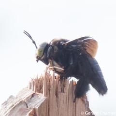 Xylocopa latipes (GeeC) Tags: xylocopinae apidae hymenoptera apoidea xylocopalatipes nature arthropoda cambodia kohkongprovince insecta xylocopa tatai animalia antsbeeswasps bees carpenterbees largecarpenterbees