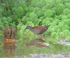 Zapornia tabuensis plumbea 8 (mncbirds) Tags: pitt town lagoon windsor the hawkesbury nsw australia barry m ralley barrymralley zapornia tabuensis plumbea spotless crake