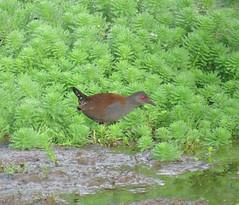 Zapornia tabuensis plumbea 7 (mncbirds) Tags: pitt town lagoon windsor the hawkesbury nsw australia barry m ralley barrymralley zapornia tabuensis plumbea spotless crake