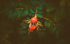 Autumn Rosehips (Dhina A) Tags: sony a7rii ilce7rm2 a7r2 a7r kodak ektanar c 102mm f28 projection projector lens kodakektanar102mmf28 vintage bokeh smooth soft bubble manualfocus autumn rosehips vibrant colorful colours rose hips