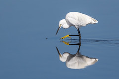 On The Hunt (Glenn.B) Tags: hamwall nature naturereserve rspb someretlevels somerset wildlife water egret littleegret reflection
