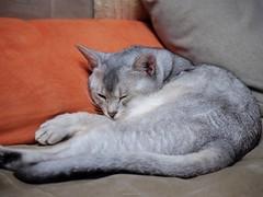 20190506_05_LR (enno7898) Tags: panasonic lumix lumixg9 dcg9 vario xvario 35100mm f28 cat pet animal abyssinian