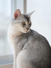 20190624_12_LR (enno7898) Tags: panasonic lumix lumixg9 dcg9 xvario vario 35100mm f28 cat pet animal abyssinian