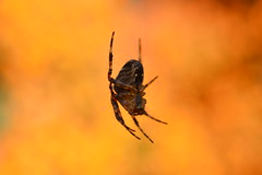 Spider from Mars! (suekelly52) Tags: spider bokeh bright arachnid beautifulbugbuttthursday pyracanthaberries