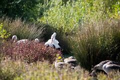 Domaine des oiseaux (Ariège) (PierreG_09) Tags: ariège pyrénées occitanie midipyrénées mazères ddo domainedesoiseaux faune oiseau oiseaux étang lac cigogne cigogneblanche ciconiaciconia