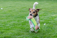 Week 1 (jessicajoy2) Tags: spring birthday 12yearsold toys dog week1 jackrussell buster 2019