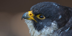 Something in the air (pe_ha45) Tags: wanderfalke fauconnerie falknerei falconry peregrinefalcon falcoperegrinus slechtvalk falcoperegrino fauconpèlerin