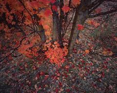 Chaotic Zion (JaZ99wro) Tags: chamonix045hs1 autumn usa velvia50 tetenal3bathkit lf 4x5 film exif4film tree e6 zion epsonv750 l051b largeformat analog utah