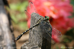 Greeneyed dragonfly 2 (srkirad) Tags: animal insect dragonfly green closeup macro dof depthoffield bokeh blur flowers fence wood sunny colorful vivid
