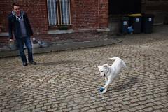 dipsy (louis.labbez) Tags: chien labrador labbez chienne balle jeu blanc bleu blue white dog jump saut play animal