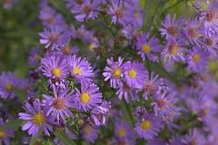 Michaelmas (Tony Tooth) Tags: nikon d7100 sigma 70mm flowers purple michaelmasdaisy leek staffs staffordshire