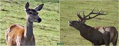 Herbst-Brunftzeit bei den Rothirschen (peterphot) Tags: wildtiere hirsche rothirsche sachsen sony herbst2019