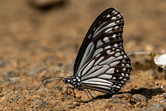 Parantica aglea - the Glassy Tiger (BugsAlive) Tags: butterfly mariposa papillon farfalla 蝴蝶 dagvlinder 自然 schmetterling бабочка conbướm ผีเสื้อ animal outdoor insects insect lepidoptera macro nature nymphalidae paranticaaglea glassytiger danainae wildlife chiangdaons chiangmai ผีเสื้อในประเทศไทย liveinsects thailand thailandbutterflies nikon105mm bugsalive ผีเสื้อลายเสือขีดยาว
