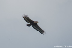 Spilornis cheela (Crested Serpent Eagle) (GeeC) Tags: tatai animalia accipitridae accipitriformes nature chordata kohkongprovince spilornis cambodia spilornischeela aves birds crestedserpenteagle hawks