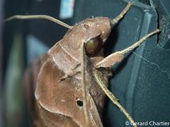 Eurypteryx bhaga (GeeC) Tags: eurypteryx tatai animalia eurypteryxbhaga bombycoidea cambodia lepidoptera nature kohkongprovince insecta arthropoda macroglossinae sphingidae butterfliesmoths hawkmoths