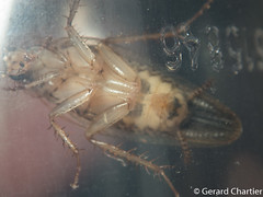 Cockroach (Ectobiidae) (GeeC) Tags: ectobiidae animalia nature arthropoda cambodia kohkongprovince insecta blaberoidea tatai blattodea cockroaches germancockroachfamily