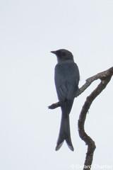 Dicrurus leucophaeus (Ashy Drongo) (GeeC) Tags: dicrurus tatai animalia dicrurusleucophaeus dicruridae nature chordata kohkongprovince cambodia passeriformes aves ashydrongo birds drongos passerines