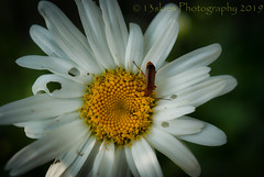 Stop Making Holes (HMM) (13skies) Tags: bug flowers daisy holes fixing beetle eating macro macroscopic sony close