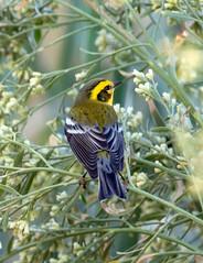Townsend's Warbler (Ed Sivon) Tags: america canon nature lasvegas wildlife western wild warbler southwest desert clarkcounty vegas flickr bird henderson nevada preserve