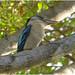 Blue Winged Kookaburra - Home Garden, Darwin, NT, Australia