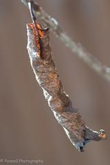 20191010-D500-D500191010015-Dead Leaf 2 (Lindsay Pennell) Tags: d500 decay nikon old autumn brown dead garden nature